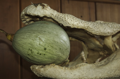 Blue Ballet Squash held aloft by Gator