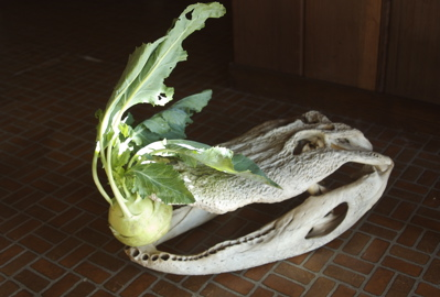 Gator Jack struggles with Kohlrabi